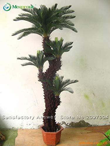 Nouvelle arrivee! Graines Cycas plante en pot Seed Flower pour Articles de bricolage jardin ménage -1 PCS Cycas Seeds / sac