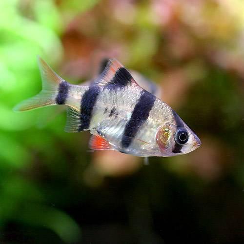 (熱帯魚)スマトラ(3匹) 北海道・九州・沖縄航空便要保温