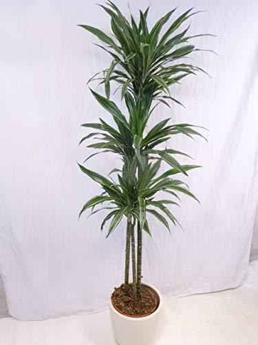 [Palmenlager] Dracaena Warneckii 3er Tuff - 190 cm - Hochstamm/Drachenbaum/pflegeleichte Zimmerpflanze