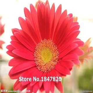 GGG Fresh NEW 98PCS/Lot Gerbera Seeds Daisy Seeds Gerbera Flower Seeds