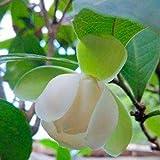 Benoon Semillas De Magnolia-Coco, 20Pcs / Bolsa Semillas Florales Germinación Rápida No GMO Tolerante A La Sombra Magnolia-Coco Garden Bonsai Seeds Para Exteriores Semillas de magnolia coco