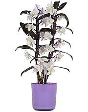 Orquídea – Bambú orquídea en maceta violeta como un conjunto – Altura: 50 cm, 2 brotes, flores -Blanco púrpura