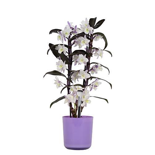Orchidee von Botanicly – Bambus Orchidee in violettem Übertopf als Set – Höhe: 50 cm, 2 Triebe, weiß-lila Blüten – Dendrobium Make Upz Purple