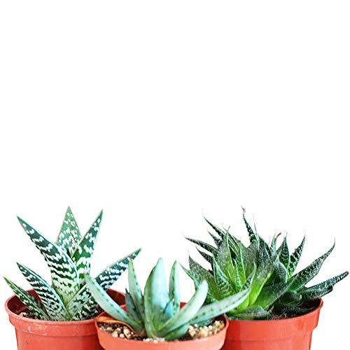 9GreenBox - 3 Different Aloe Plants - Easy to grow/Hard to Kill! - 3' Pots Live Plant Ornament Decor...