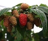 PERAGASHOP 1 Planta de frambuesa rojo Amira Variedad Muy Precoce