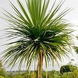 Just Seed???Blume???keulenlilien australis???50?Samen???Palm