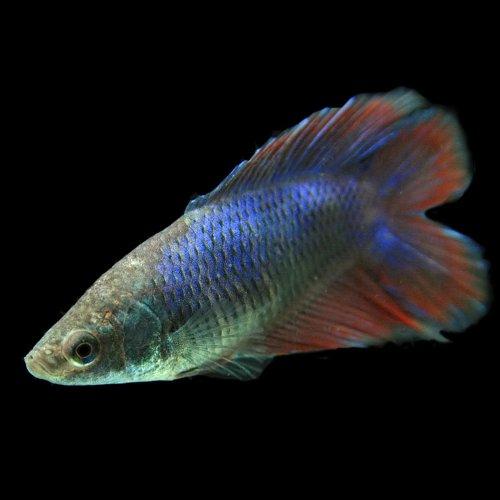 (熱帯魚)ベタ ダブルテール メス(色おまかせ)(約3cm)<1匹>[生体]