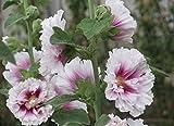 30 Pcs/Lot Real Sementes Graines De Jardin À La Maison Rose Trémière Fleur Mixte Alcea Rosea Graines De Fleurs: 6