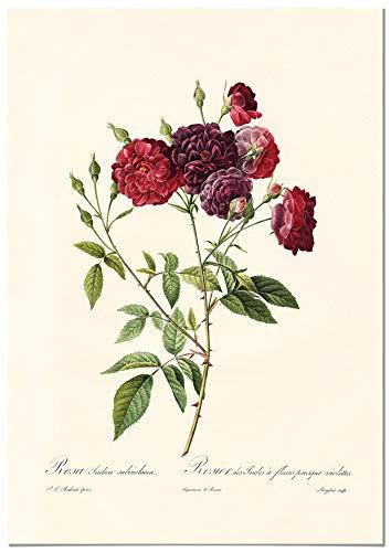 Panorama Póster Rosa Borgoña Vintage 50x70cm - Impreso en Papel 250gr - Láminas Hojas Verdes - Láminas para Enmarcar - Cuadros Decoración Salón - Cuadros Botánica - Cuadros de Plantas