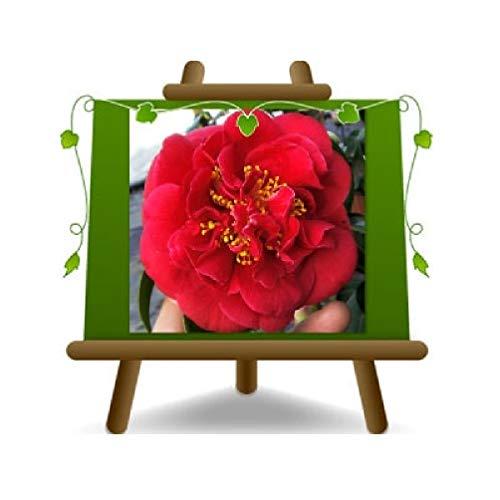 Camelia Japón Rojo Plantas ornamentales – En maceta de 22 cm – Altura 70 cm