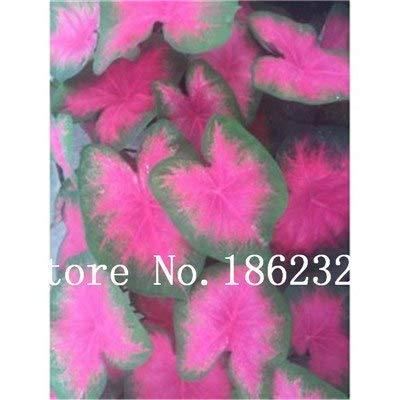 GEOPONICS SEEDS: Verkauf! 100 Stück Caladium Bonsai Caladium Blumen Bonsai Zimmerpflanzen Bonsai Colocasia Anlage für Hausgarten-Topfpflanze: 4