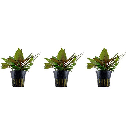 Aquarium Pflanze 3 Stück Cryptocoryne wendtii ' Wasserpflanze Nr.109E Aquariumpflanzen Set