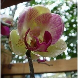 10pcs/lot papillon graines d'orchidées, fleurs d'intérieur bonsaï quatre saisons, Phalaenopsis Orchidées jardin 15
