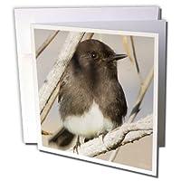VWPics鳥–ブラックPhoebe。( Sayornis Nigricans。Back Bay予約、カリフォルニア–グリーティングカード Set of 12 Greeting Cards