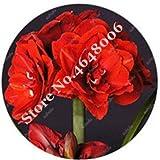 100の混合アマリリス盆栽ない球根盆栽鉢植え、アマリリスの花のホーム&ガーデンバルバドスリリーフラワーポット:R