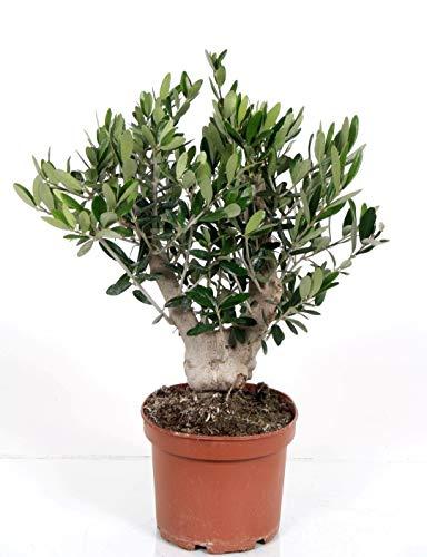 Olivenbaum, Stamm, (Olea europea), Tragen dieses Jahr Oliven, kräftige Bäume, (ca. 40cm hoch, im ca. 15cm Topf, XL - Stamm)