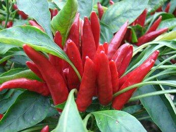 Promotion!!! 30pcs 5colors mixtes graines de poivre Légumes graines piment doux colorés skgs poivre ornementaux graines comestibles balcon
