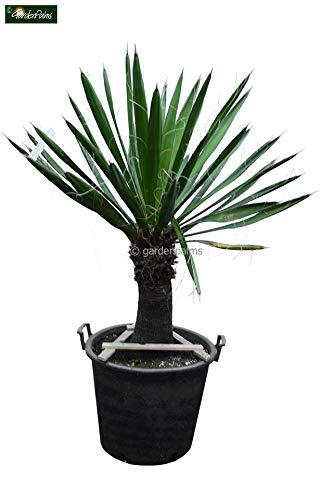 Winterharte Fädige Palmlilie - Yucca Carnerosana - Stamm 40-50cm Topf Ø 55cm SPEDITIONSVERSAND