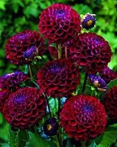Virtue Echte Dahlienzwiebeln, Dahlienblüte, Bonsai Blumenzwiebeln, (nicht Dahliensamen), mehrjährige Pflanze Topfbauchige Wurzel für Garten 2 Stück 24