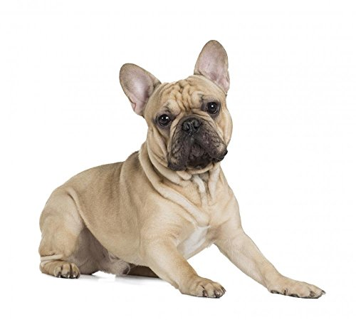 Wallmonkeys French Bulldog Fawn Color on a White Background Wall Decal Peel and Stick Graphic WM359461 (30 in W x 27 in H)