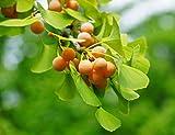 5 Semillas de Ginkgo biloba (Nogal del Japón)