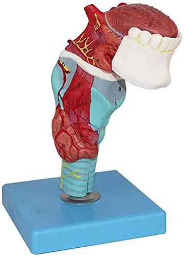 Tráquea Humana Laringe Garganta con El Modelo Anatómico De Los Dientes De La Lengua, La Lengua Y El Modelo Aryngeal Diente, Modelo De La Laringe para La Enseñanza De Estudio