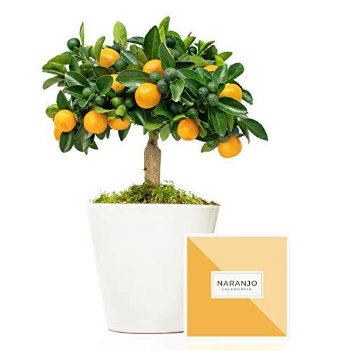 Naranjo Calamondin 38 cm en maceta de 16 cm diámetro entregado en caja de regalo con tríptico con información y guía de cuidados – Planta viva interior – Árbol frutal enano en maceta