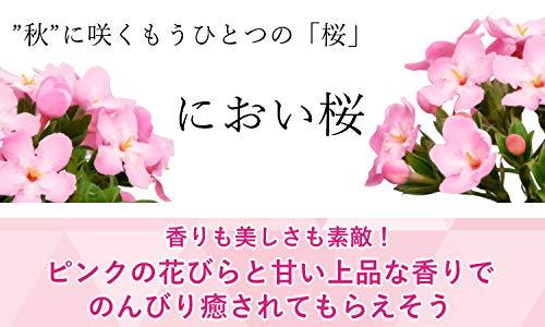 花由敬老の日フラワーギフトにおい桜鉢植え大きな5号鉢