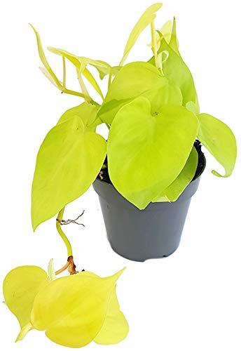 Fangblatt - Philodendron scandens Micans 'Lime' - leuchtender Baumfreund - außergewöhnliche Zimmerpflanze - Sammlerpflanze