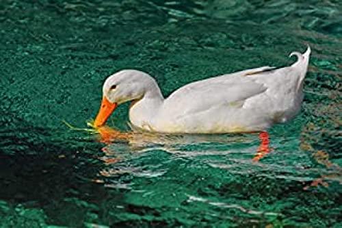 HJHJHJ Rompecabezas 500 Pieza Pato Blanco en el Agua Rompecabezas de Madera 500 Pieza 52x38cm