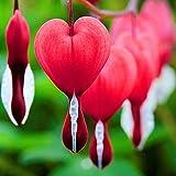 Semillas rojas del corazón sangrante, 10Pcs / Bolsa sangrantes Semillas del corazón perenne Buena Cosecha roja atractivos Semillas Bonsai Dicentra de balcón para jardinería Ideal regalo al aire libre