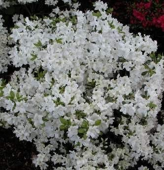 Azalea japonica Schneeglanz - 25-30 cm