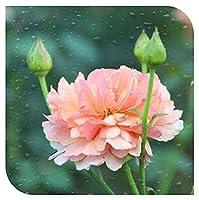 ロサ.キネンシス チャイナローズ根茎 豪華な庭の植物 ファッション サニー 鉢植えができます-1 根茎