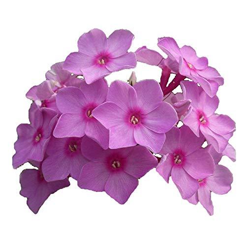 Charm4you Semillas de Flores perennes,Four Seasons sembrando Semillas Florales de jardín-Amarillo_20 cápsulas,Semillas de Plantas Verdes