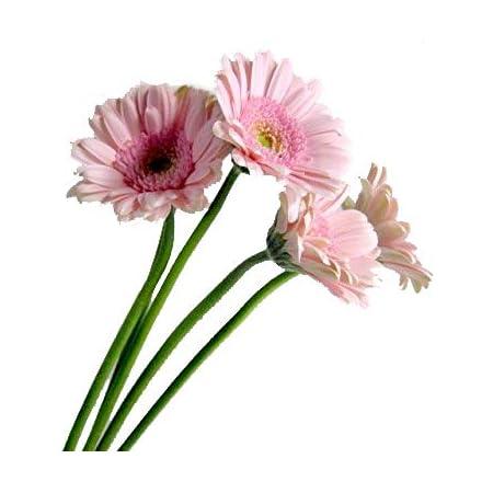 ガーベラ 生花 切り花 ウララLPなど 5本