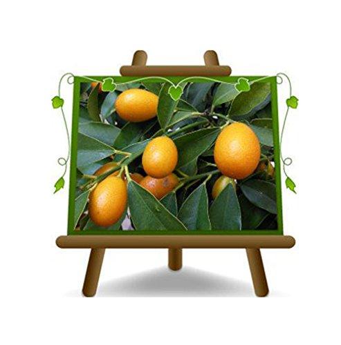 Citrus Kumquat - Fortunella Margarita sur un pot de 22 arbres fruitiers - max 80 cm