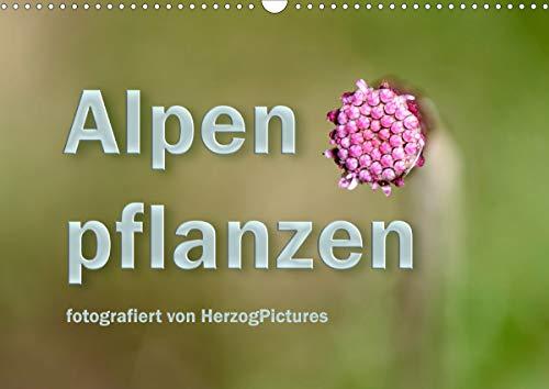 Alpenpflanzen fotografiert von HerzogPictures (Wandkalender 2021 DIN A3 quer)