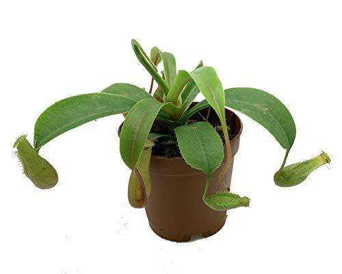 Asian Pitcher Plant - Nepenthes alata - Carnivorous - Exotic - 2.5' Pot