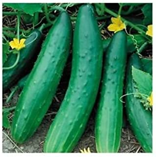 Garden Sweet Burpless Cucumber Seeds, Giant Cucumbers up to 45 cm long, 100+ Premium Heirloom Seeds, Hot Choice & Limited, (Isla's Garden Seeds),85% Germination Rates,Non Gmo Organic,Highest Quality