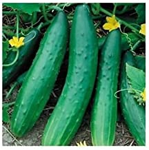 Garden Sweet Burpless Cucumber Seeds, Giant Cucumbers up to 45 cm long, 100+ Premium Heirloom Seeds, Hot Choice & Limited,...