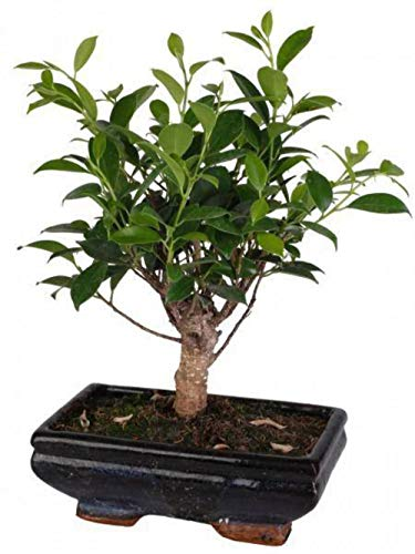 Bonsai Ficus (Ball Shape) in vaso ceramica Ø20 Cm./H 36 Cm.