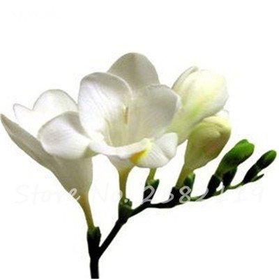 100 Pcs freesia Graines Bonsai Fleurs orchidée Belle Freesia rhizome bulbeux Fleurs Mix Couleurs So Fragrant Garden Décor 13