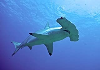ConversationPrints HAMMERHEAD SHARK GLOSSY POSTER PICTURE PHOTO PRINT BANNER flat ocean school