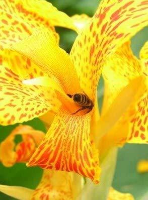 Canna indica Indisches Blumenohr 10 Samen rot gelb gemischt