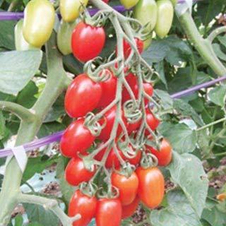 ミニトマトの種 シシリアンルージュCF 8粒