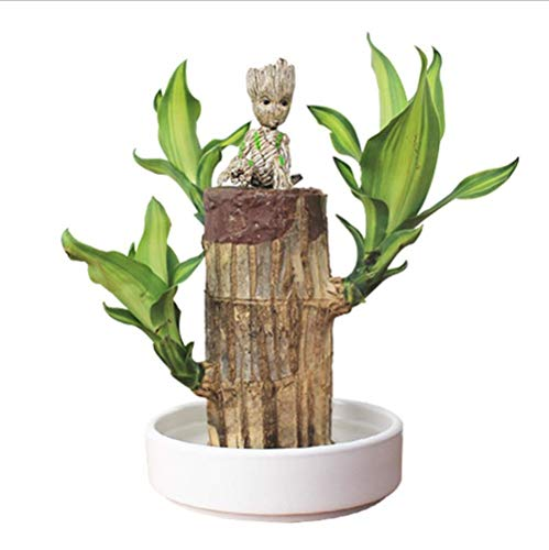 XIAOMING Brasilianisches Holz + Groot Topfpflanzen Saubere Luft Glückliches Holz Hydroponische Pflanzen Blumentopf Hydroponischer Baumstumpf Desktop Pflanzen Pflanzen Geschenke