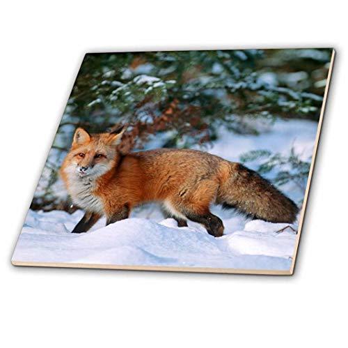 3dRose Captive Red Fox Walking in Snow in Winter, Montana Tile 12 x 12