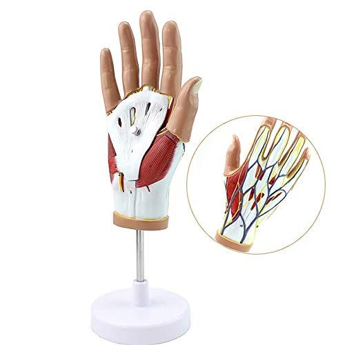 Modelo de anatomía, Modelo de mano humana anatómica con ligamento TENDO MUSCLEO Neurovascular desmontable 4 partes pintura a mano avanzada para equipo de laboratorio Ornamento Ciencia juguete para dem