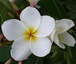 5 Fresh Seeds Frangipani Plumeria