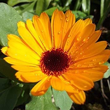 BloomGreen Co. Graines de fleurs: Pot Marigold orange (nain) En plantant des fleurs Sit Out Area (7 Packets) Jardin Graines de plantes